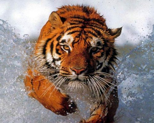 Bengal-Tiger-Running